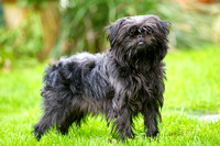 Gino the Affenpinscher